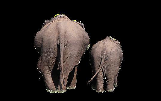 Elephant, Isolated, Move, Back, Rear Wild Animals