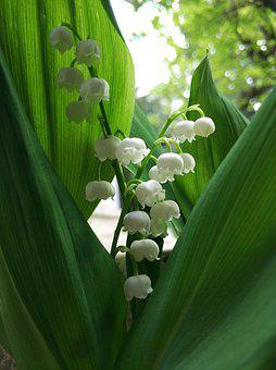 Lily Of The Valley, Spring, May, White, Nature, Flower