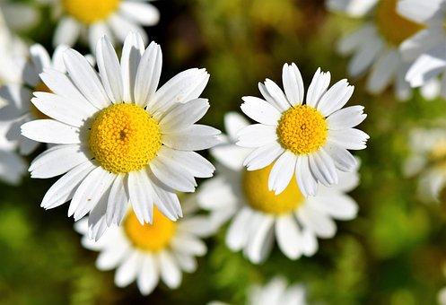 Marguerite, Tree Daisy, Daisy Flower, Ornamental Plant