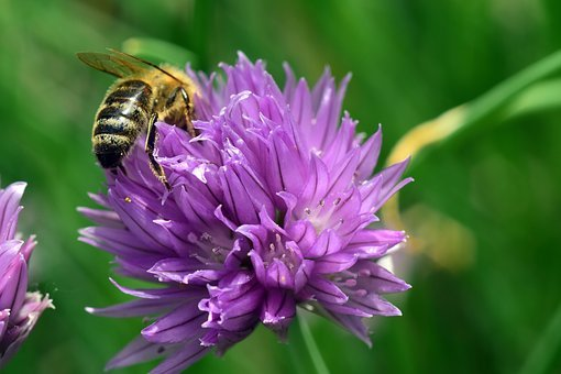 Chives, Chives Blossom, Blossom, Bloom, Bee, Nature