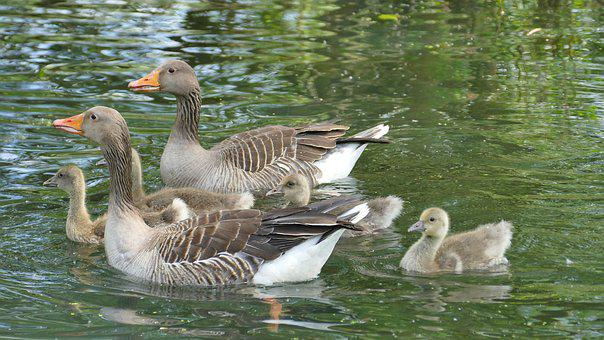 Geese, Nature, Animal, Bird, Lake, Young Geese, Family
