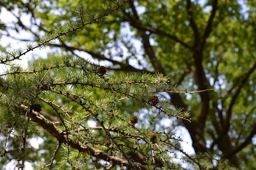 Tree, Pine Tree, Pine Trees, Pine, Nature, Green