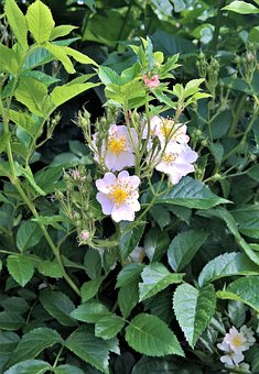 Plant, Ornamental Shrub, White Flowers