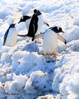 Snow, Penguins, Water Bird, Water, Birds
