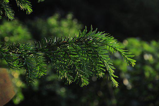 Pine, Official Glass, Pine Tree, Pine Branch, Tree