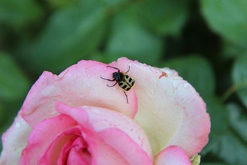 Pink, Insect, Rosebush, Pink Rose, Cetonia