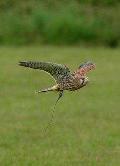 Kestrel, Hawk, Bird, Wild, Wildlife, Beak, Predator