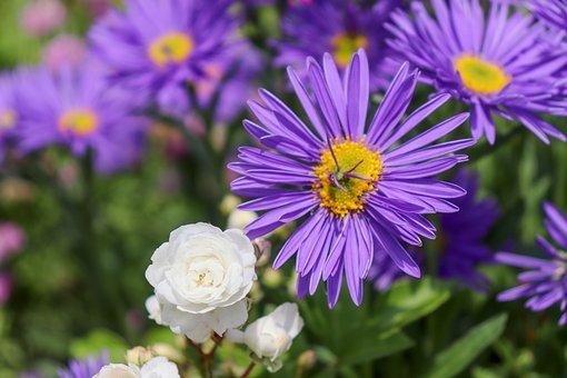 Rock Plant, Purple, Blue, Garden Plant, Garden, Alpine