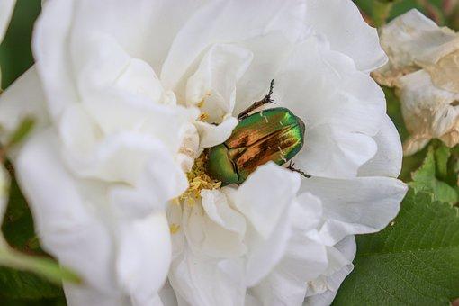 Beetle, Rose, White, Beetles, Macro, Nature