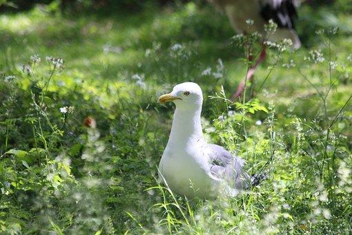 Seagull, Herring Gull, Larus Argentatus, Bird, White