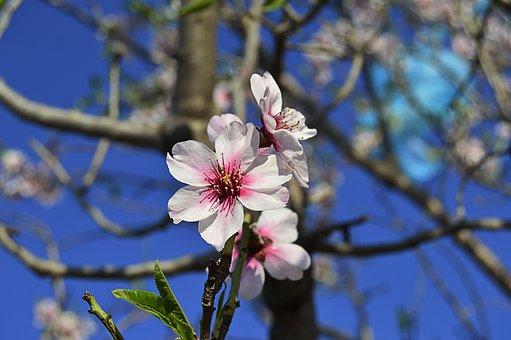 Almond Flowers, Flowery Branch, Almond Tree, Spring