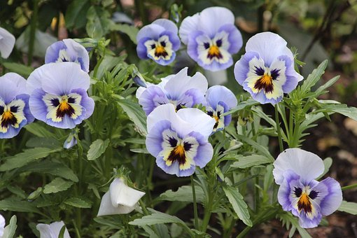 Violet, Viola Tricolor, Pansies, Summer Flowers