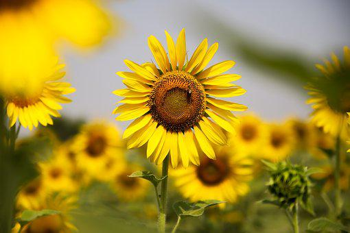 Sunflower, Nature, Flower, Agriculture, Summer, Sun