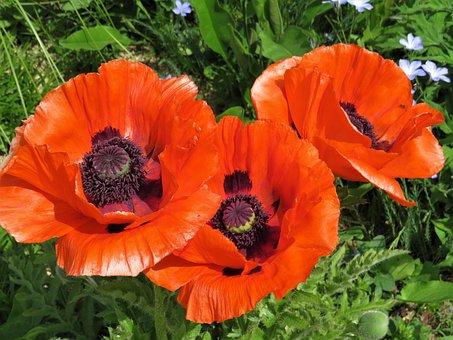 Poppy, Poppies, Red, Flower, Three, Garden, Remembrance