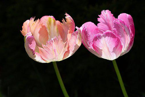 Tulips, Two Tulips, Two, Flowers, Tulip Flower, Salmon
