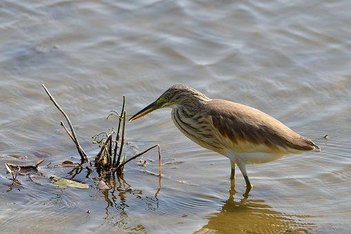 Water Plan, Squacco Heron, Bird