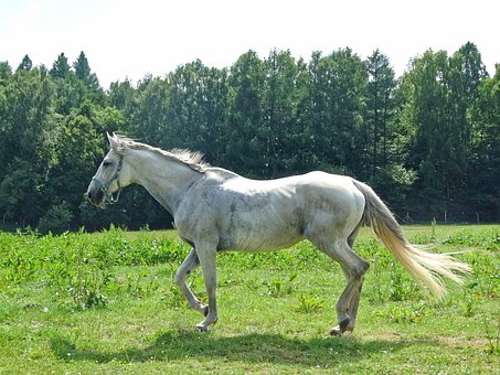 Forest, The Horse, White Horse, Animal, Horse, Total