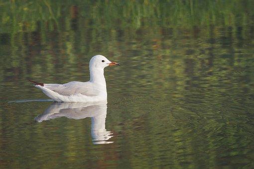Hartlaub's Gull, Bird, Water, White, Gull, Animal