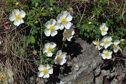Wild Rose, White, Bush Rose, Blossom, Bloom