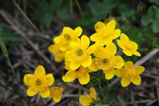 Marsh Marigold, Yellow Flower, Dotterbloemen, Yellow