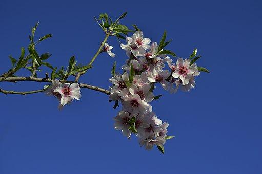 Almond Flowers, Flowery Branch, Flowering Almond Trees