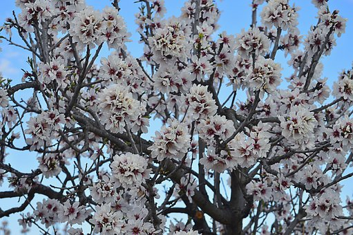 Almond Flowers, Almond Tree In Blossom, Flowering