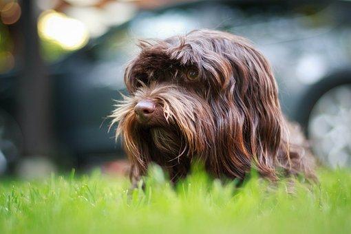 Havanese, Dog, Pet, Good, Small Dog, Puppy, Animal