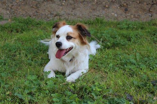 Dog, Płochacz, Happy Dog, At The Court Of, Animal