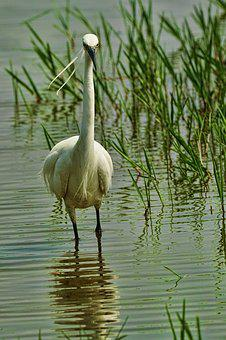 Nature, Bird, Egret, Waters, On The Hunt, Animal World