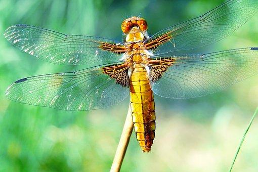 Animals, Invertebrates, Dragonflies Różnoskrzydłe