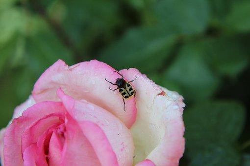 Pink, Pink Rose, Rosebush, Cetonia, Insect, Beetle