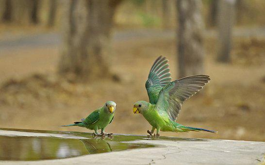 Parrot, Indian, Green, Wildlife, Bharat, Banswara