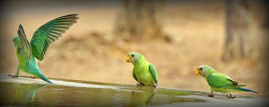 Green, Parrot, Indian, Bharat, Banswara