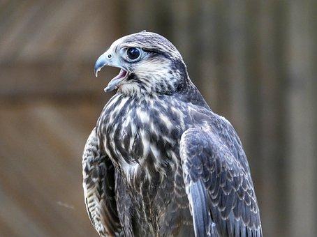 Griffin, Bird, Raptor, Nature, Plumage, Bird Of Prey