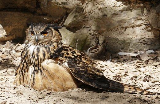 Eagle Owl, Bird, Owl, Feather, Bird Of Prey, Raptor