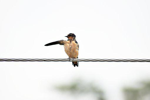 Swallow, Bird, It Was There, Migration, Birds, Hyip