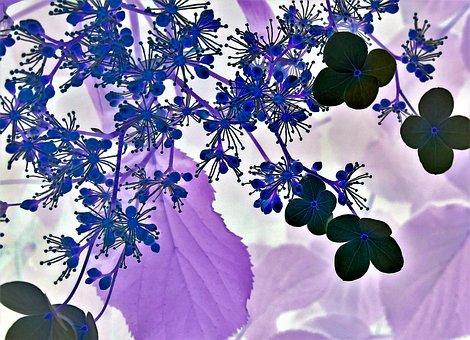 Blossom, Bloom, Floral Design, Hydrangea Flower