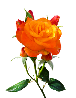 Nature, Flower, Rose, Blossom, Bloom, Isolated, Orange