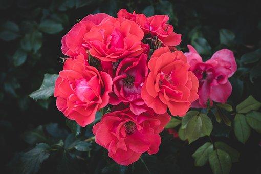 Rose, Bloom, Flower, Nature, Plant, Rose Bloom