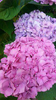 Hydrangea, Flower, Pink, Nature, Blossom, Plant, Bloom