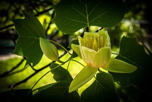 Tulip Tree, Blossom, Flower, Spring