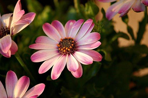 Bornholm Marguerite, Osteospermum Ecklonis, Plant