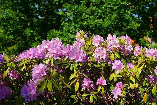Rhododendrons, Flowers, Bush, Rhododendron Blossoms