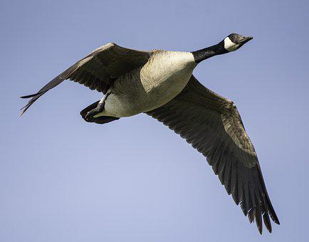 Canadian Goose, Canadian Geese, Flying, Flight
