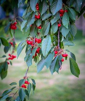 Cherries, Cherry Tree, Leaves, Red, Sour Cherries
