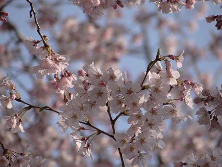 Cherry Trees, Bloom, Japan, Nature, Japanese Cherry