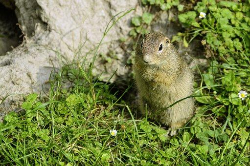 Animal, Ground Squirrel, Close, Spermophilus Citellus