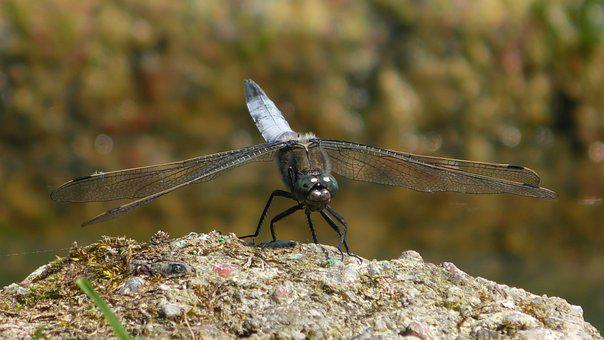 Dragonfly, Insect, Wing, Close