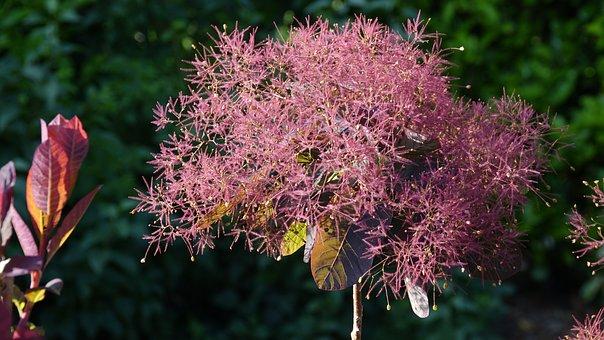 Cotinus Dummeri Grace, Tree Wigs, Garden, Shrub