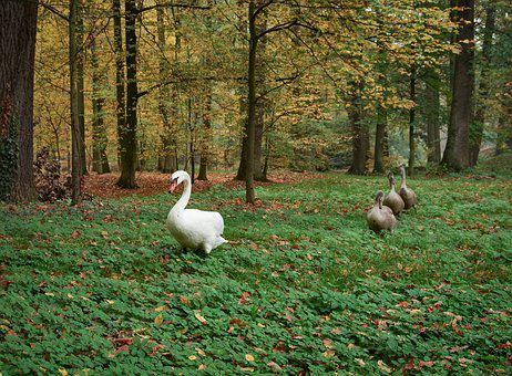 Swans, Mute Swan, Cygnet, Bird, Gray, White, Grass
